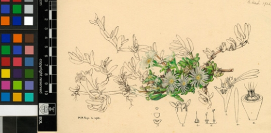 Disphyma crassifolium (L.) L.Bolus Page, Mary Maud.